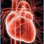 bigstock-Human-Heart-4301447.jpg