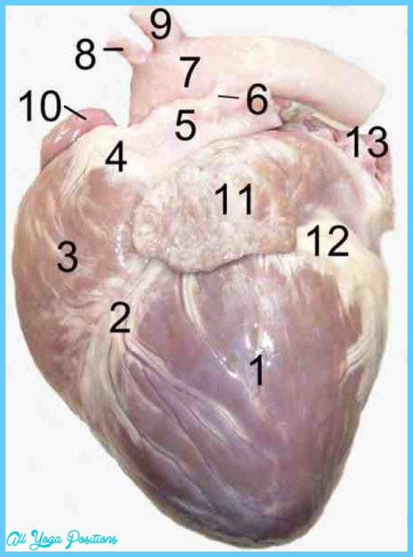 Dog-Heart-Murmur.jpg