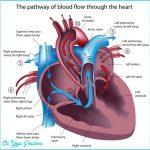 heart-anatomy-heart-murmur-cause-1024x1017.jpg