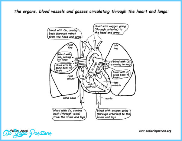 THE HEART-LUNG CONNECTION_17.jpg