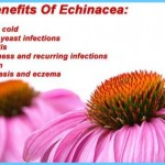 Echinacea Uses, Side Effects, Interactions, Dosage, and Warning_0.jpg