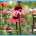 Echinacea Uses, Side Effects, Interactions, Dosage, and Warning_8.jpg