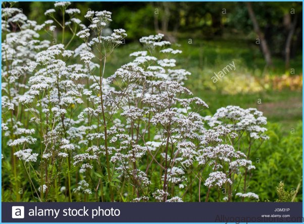 HERBAL REMEDIES Valerian for Insomnia_13.jpg