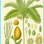 What is Areca Nut? How to Use Areca Nut_17.jpg