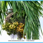 What is Areca Nut? How to Use Areca Nut_4.jpg
