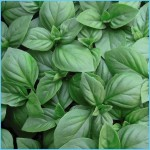 What is Basil, sweet? How to Use Basil, sweet_11.jpg