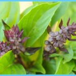 What is Basil, sweet? How to Use Basil, sweet_15.jpg