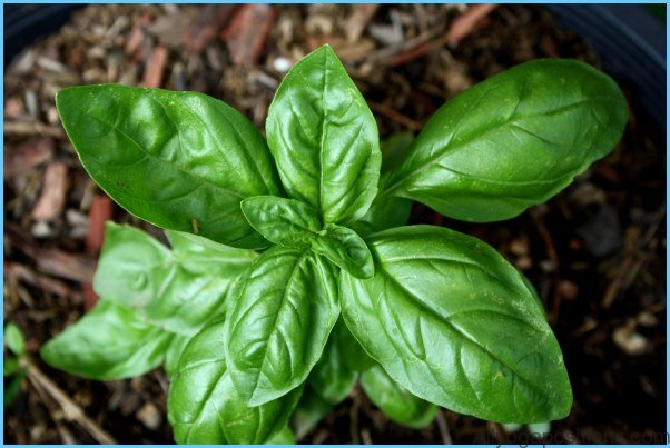 What is Basil, sweet? How to Use Basil, sweet_18.jpg