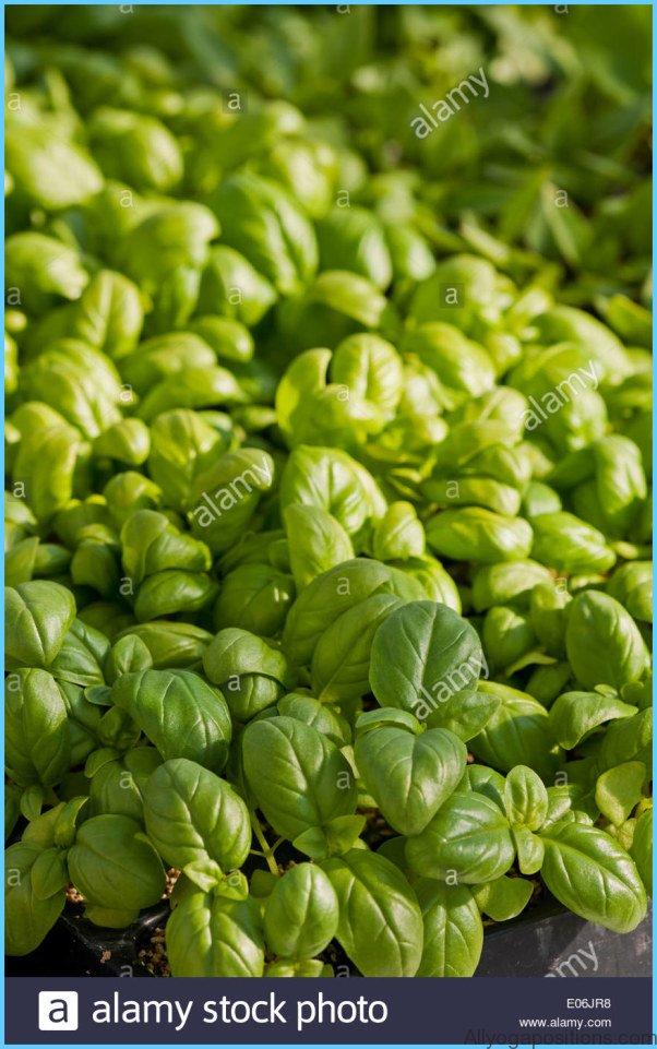 What is Basil, sweet? How to Use Basil, sweet_5.jpg