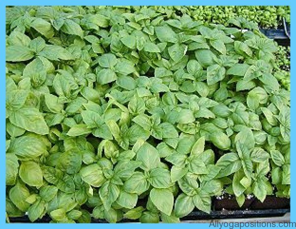 What is Basil, sweet? How to Use Basil, sweet_7.jpg