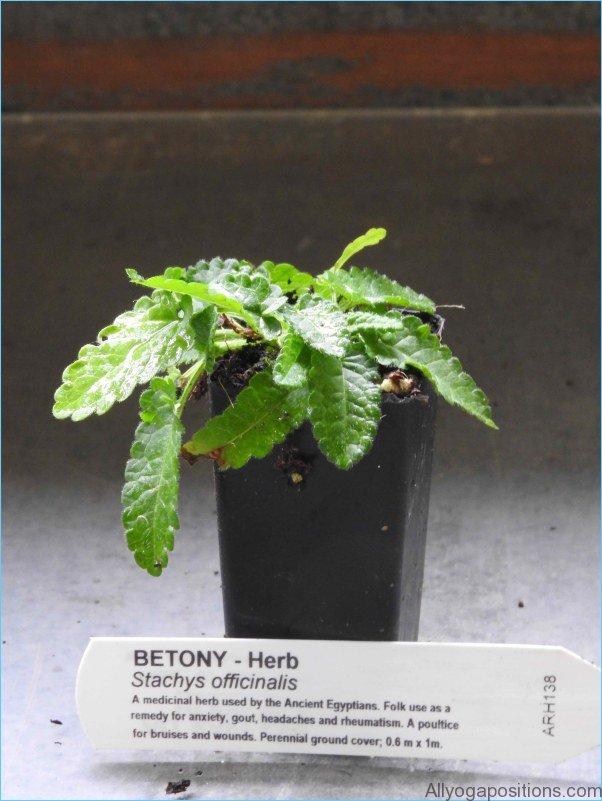 What is Betony? How to Use Betony_12.jpg