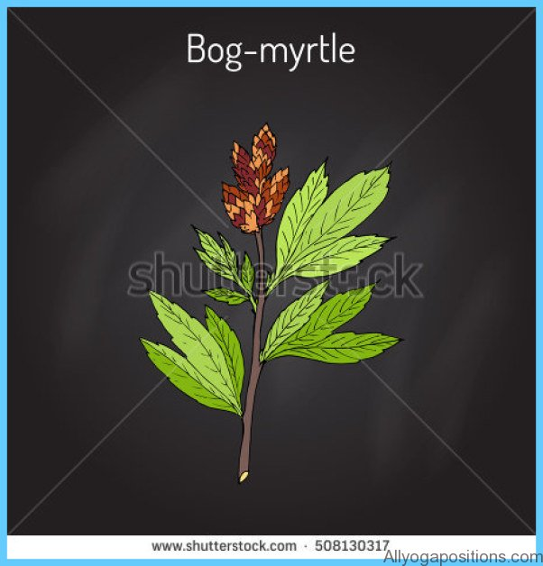 What is Bog Myrtle? How to Use Bog Myrtle_10.jpg