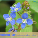 What is Brooklime? How to Use Brooklime_4.jpg