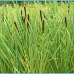 What is Bulrush? How to Use Bulrush_0.jpg
