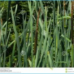 What is Bulrush? How to Use Bulrush_1.jpg