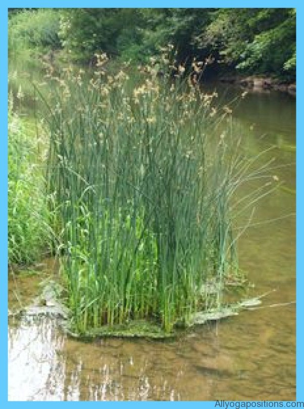 What is Bulrush? How to Use Bulrush_11.jpg
