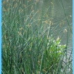What is Bulrush? How to Use Bulrush_13.jpg