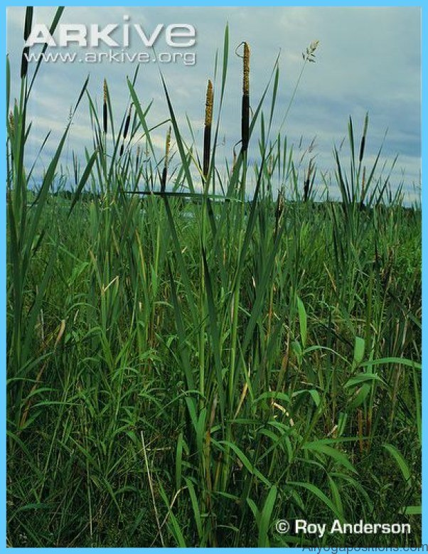What is Bulrush? How to Use Bulrush_16.jpg