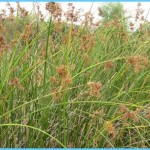 What is Bulrush? How to Use Bulrush_4.jpg