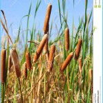 What is Bulrush? How to Use Bulrush_8.jpg
