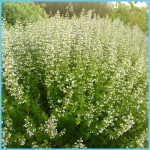 What is Calamint? How to Use Calamint_0.jpg