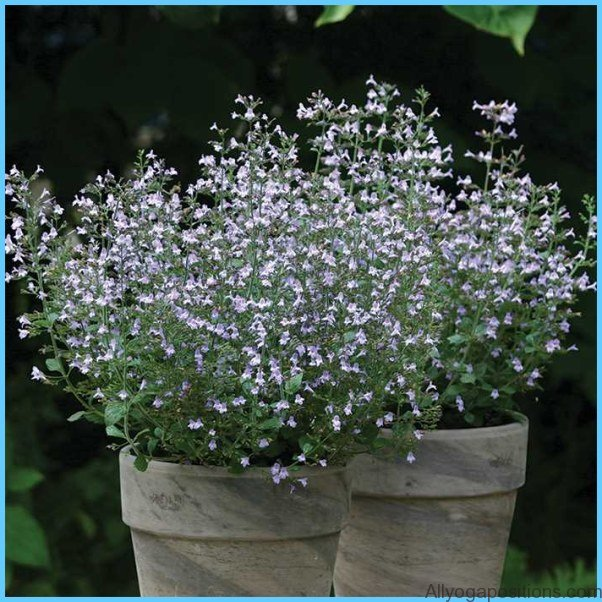 What is Calamint? How to Use Calamint_1.jpg