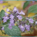 What is Calamint? How to Use Calamint_11.jpg
