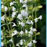 What is Calamint? How to Use Calamint_12.jpg