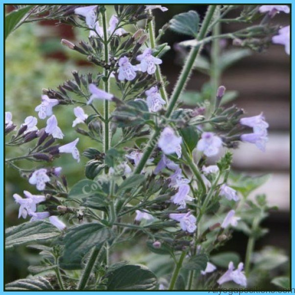 What is Calamint? How to Use Calamint_14.jpg