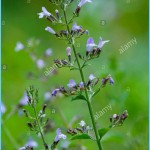 What is Calamint? How to Use Calamint_15.jpg