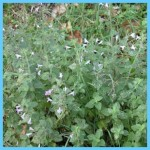 What is Calamint? How to Use Calamint_16.jpg