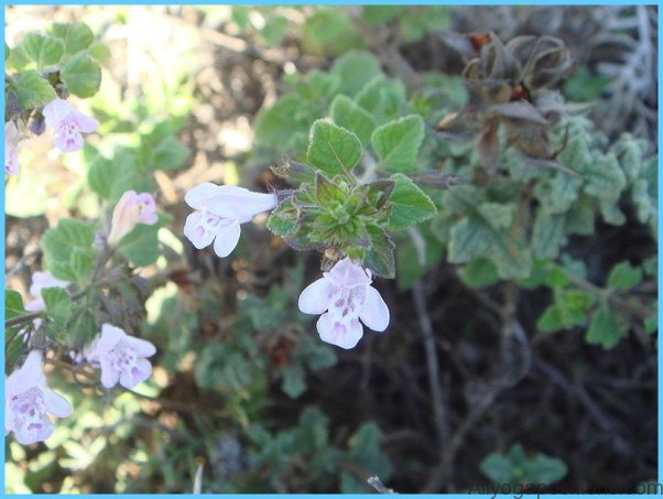 What is Calamint? How to Use Calamint_2.jpg