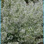 What is Calamint? How to Use Calamint_5.jpg