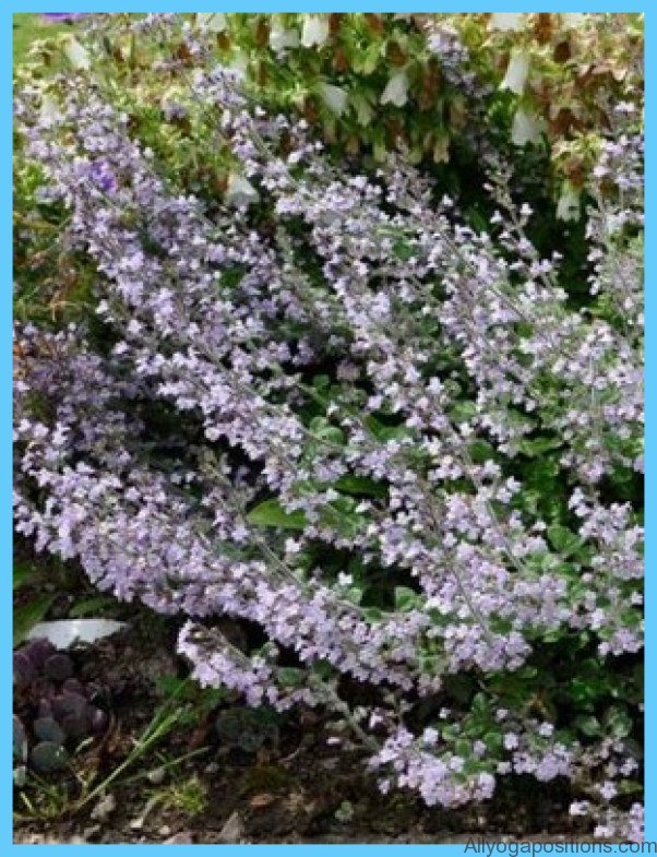 What is Calamint? How to Use Calamint_6.jpg