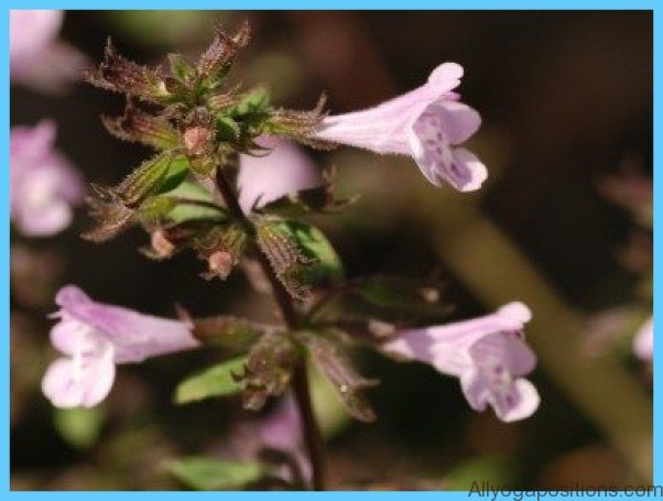 What is Calamint? How to Use Calamint_7.jpg