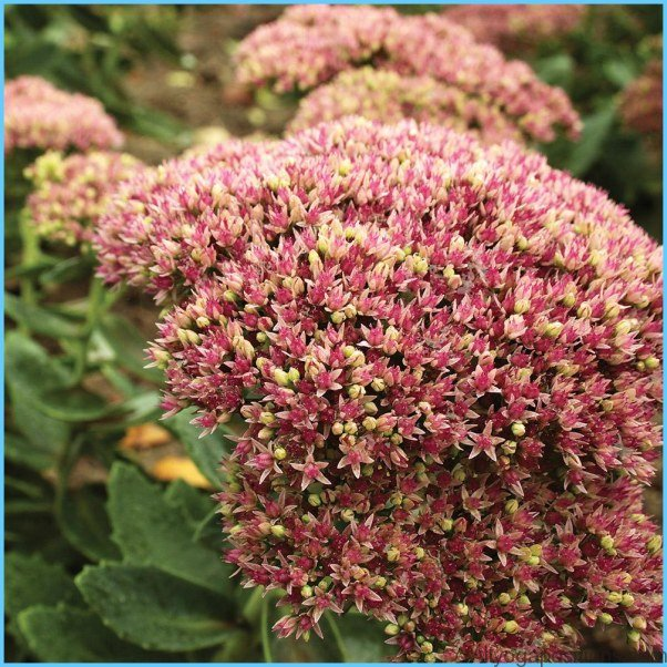 What is Stonecrop and How Do You Use It?_1.jpg