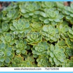 What is Stonecrop and How Do You Use It?_10.jpg