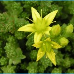 What is Stonecrop and How Do You Use It?_12.jpg