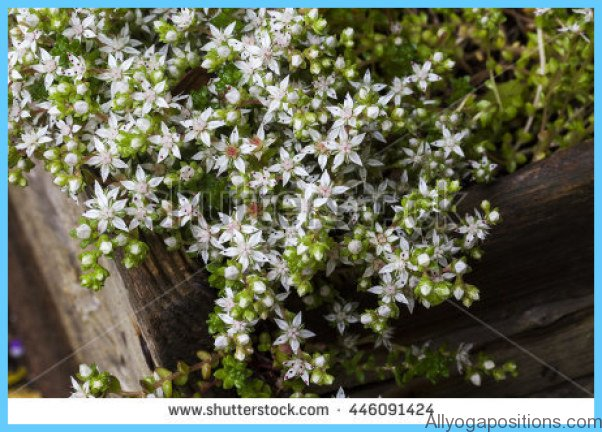 What is Stonecrop and How Do You Use It?_14.jpg