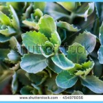 What is Stonecrop and How Do You Use It?_16.jpg