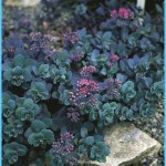 What is Stonecrop and How Do You Use It?_2.jpg