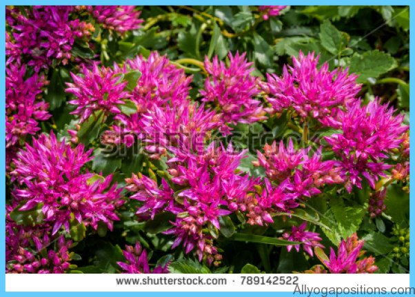 What is Stonecrop and How Do You Use It?_3.jpg