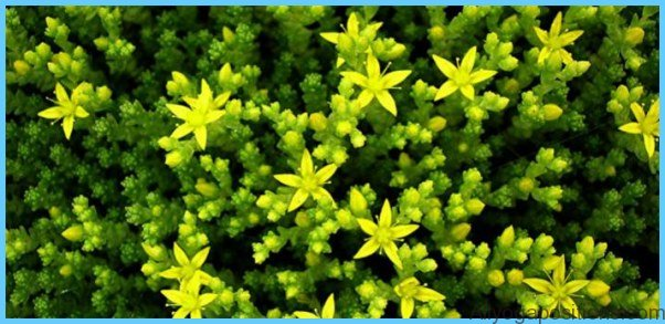 What is Stonecrop and How Do You Use It?_7.jpg