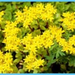 What is Stonecrop and How Do You Use It?_8.jpg