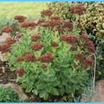 What is Stonecrop and How Do You Use It?_9.jpg