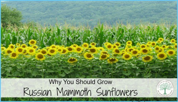 What is Sunflower and How Do You Use It?_10.jpg