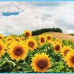 What is Sunflower and How Do You Use It?_11.jpg
