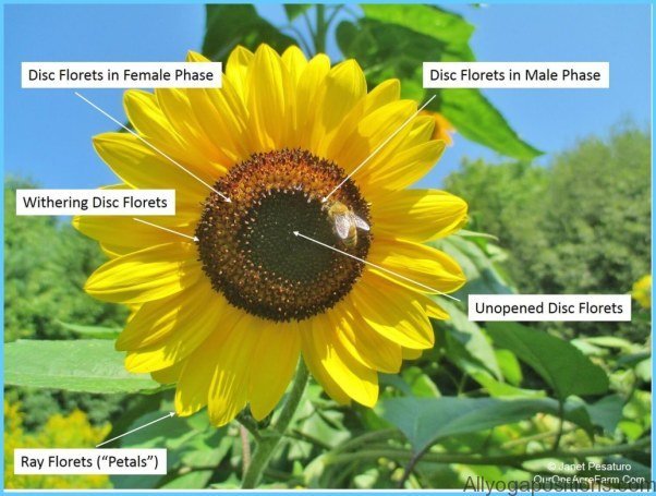 What is Sunflower and How Do You Use It?_8.jpg