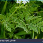 What is Sweet Cicely and How Do You Use It?_0.jpg