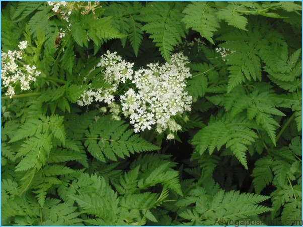 What is Sweet Cicely and How Do You Use It?_11.jpg